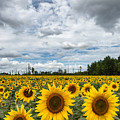 Sunflower Field by Dale Kincaid