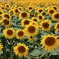 Sunflower Field France by Pauline Cutler