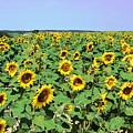 Sunflower Field by HelenaP Art
