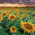 Sunflower Field In Longmont, Colorado by Lightvision