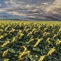 Sunflower Fields Near Denver International Airport by OLena Art Lena Owens