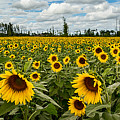 Sunflower Field Panoramic by Dale Kincaid