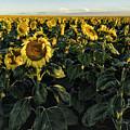 Sunflower Fields  by OLena Art Brand