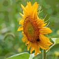 Sunflower Fun by Suzanne Gaff