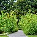 Sunflower Garden by Cynthia Guinn