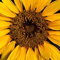 Sunflower by Gary Lengyel