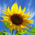 Sunflower Glow by MTBobbins Photography