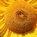Sunflower Head  by Colleen Snow
