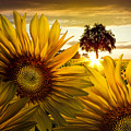 Sunflower Heaven by Debra and Dave Vanderlaan
