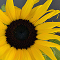 Sunflower II by James Pinkerton