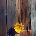 Sunflower In Barn Wood by Garry Gay
