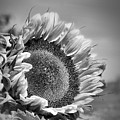 Sunflower In Black And White by Smilin Eyes  Treasures