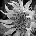 Sunflower In Contrast by Kerry Hauser
