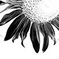 Sunflower In Corner Bw Threshold by Heather Kirk