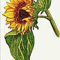 Sunflower In Gouache by Sarah Loft
