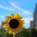Sunflower In Providence by Charles Carlow