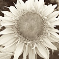 Sunflower In Soft Sepia by Jeannie Rhode