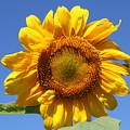 Sunflower In Sunshine  by Cathy Beharriell