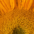 Sunflower In The Morning Dew by Bernice Williams