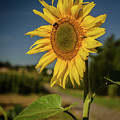 Sunflower In The Morning by Miguel Winterpacht