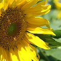 Sunflower by Joi Electa
