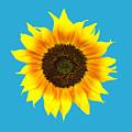 Sunflower by Judith  Flacke