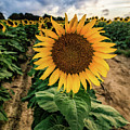 Sunflower King Pin by Alissa Beth Photography