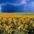 Sunflower Lightning Field  by James BO  Insogna