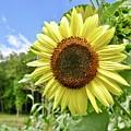 Sunflower by Linda Covino