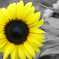 Sunflower by Lisa Hebert