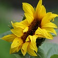 Sunflower by Liz Vernand