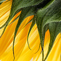 Sunflower Macro by Ann Garrett