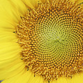 Sunflower  by Margie Wildblood
