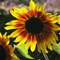 Sunflower by Maria Joy