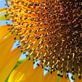 Sunflower by Marianna Hoefle