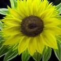 Sunflower by Marie Lamoureaux