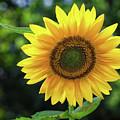 Sunflower by Mark Miller
