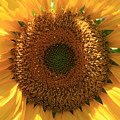 Sunflower  by Marna Edwards Flavell