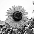 Sunflower by Marvin Borst