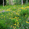 Sunflower Meadow by Crystal Garner