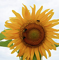 Sunflower  by Michael CrowderPhotography