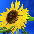 Sunflower by Monique Flint