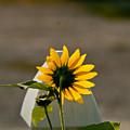 Sunflower Morning by Douglas Barnett