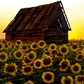 Sunflower Morning With Barn by Movie Poster Prints