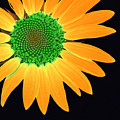 Sunflower Mosaic 1 by Tina Meador