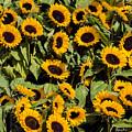 Sunflower Near Van Gogh Museum by Yefim Bam