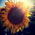 Sunflower by Nikola Radak