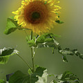 sunflower No. 10 by Susan Crowell