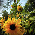 sunflower No.8 by Susan Crowell