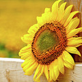 Sunflower On The Fence by Eleanor Abramson